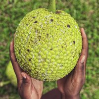 Breadfruit 3 lbs